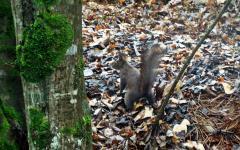 vjeverica